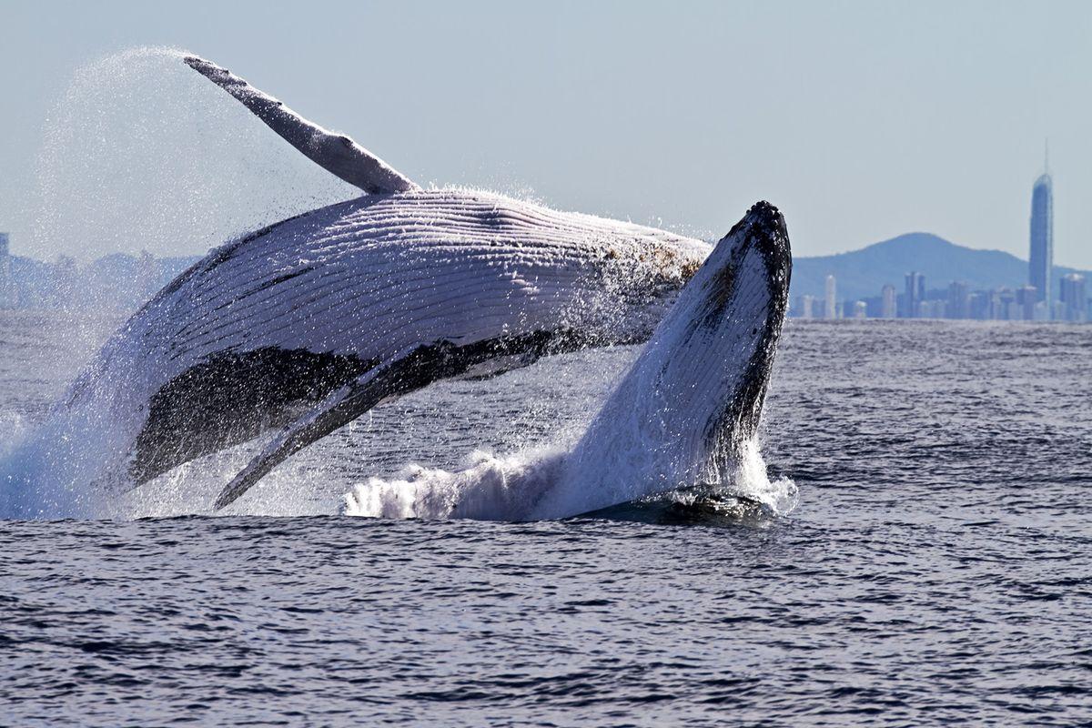 Coolangatta Whale Watch